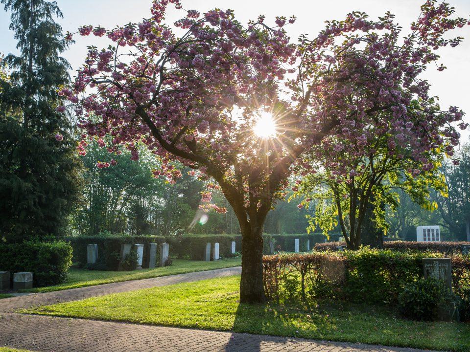 Boom met bloesem en zon op begraafplaats, afscheidsfotografie